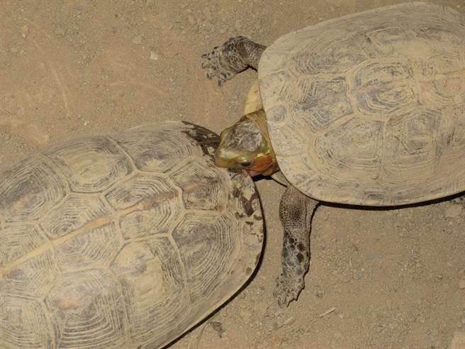 雄龜為交配咬雌龜,食蛇龜交配前,雄龜會先咬住雌龜背甲。(圖/中興大學食蛇龜保育團隊提供)