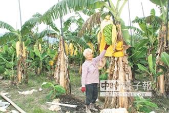 香蕉賤價 農友氣到不想收割