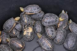保育類食蛇龜當「補品」 金門截獲走私298隻