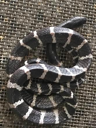 抓到歐亞第1毒蛇 頭是圓的