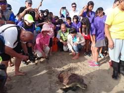 綠蠵龜早產兒好努力  20克吃胖到2公斤回大海