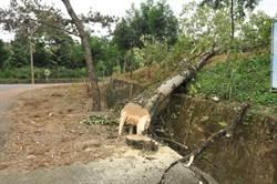 好大膽 埔里鎮長周義雄砍樹砍進國有林班地 林管處要辦人