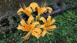 不用跑台東賞金針花啦!超美黃金花瓣竟然在台北就看得到!