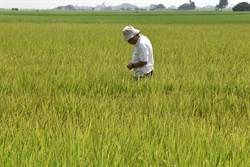 雲林二崙鄉稻子枯萎 農改場:應是線蟲作祟