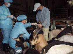 新北動保處熱血草根獸醫師 協助老農施打羊痘疫苗