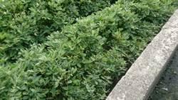 花生葉遭蟲嚴重啃蝕 防疫所把脈