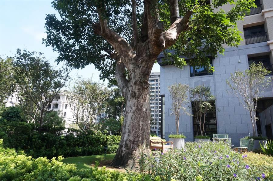 百年茄苳樹在「久樘瑞璽」社區,展現綠意盎然的生命力。(盧金足攝)