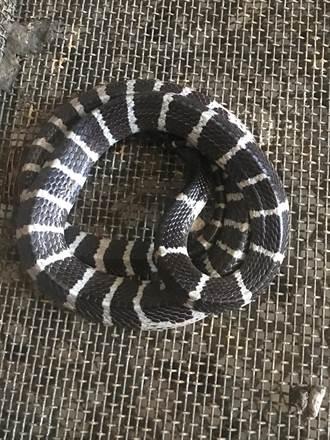 節氣「霜降」 歐亞第一毒蛇出沒