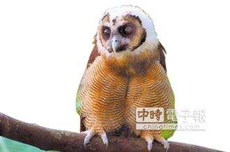 褐林鴞雪寶 自立門戶