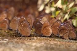 紫斑蝶入高市茂林過冬   邀您「看吧!蝶」