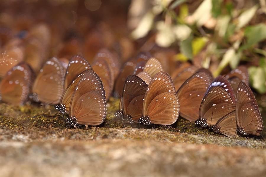 每年秋冬之際茂林山谷就出現大量紫斑蝶,茂管處邀民眾上山賞蝶。 (圖:茂管處提供)