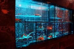 讓海鮮像住老家一樣 但馬家涮涮鍋打造百萬魚缸