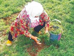 農改場投入栽種有機風茹草