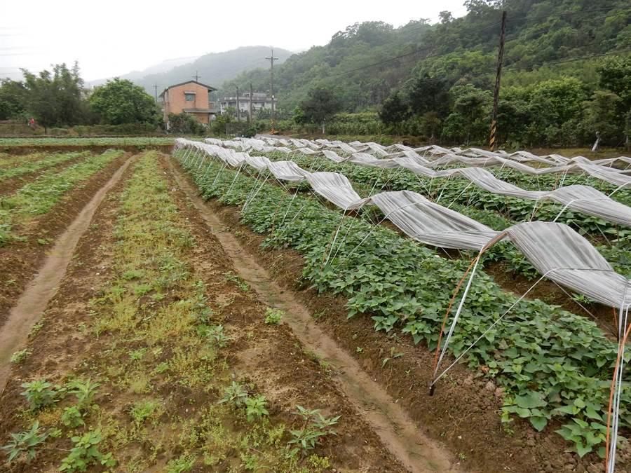 塑膠布隧道棚栽培的地瓜苗存活率達100%(右半部),無覆蓋者存活率僅一半(左半部)。(農試所提供)