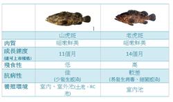 搶兩岸美食饕客商機 德河第二隻新魚種山虎斑上市