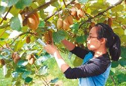 貴州修文「7不夠」獼猴桃 高雄國際蔬果展登場試吃