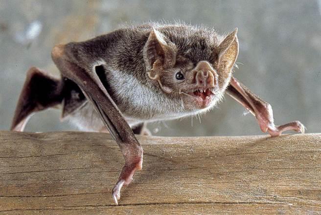 吸血蝙蝠不適應寒冷天氣,然而暖化將使牠們活動範圍增大。(圖/史密森尼學會)