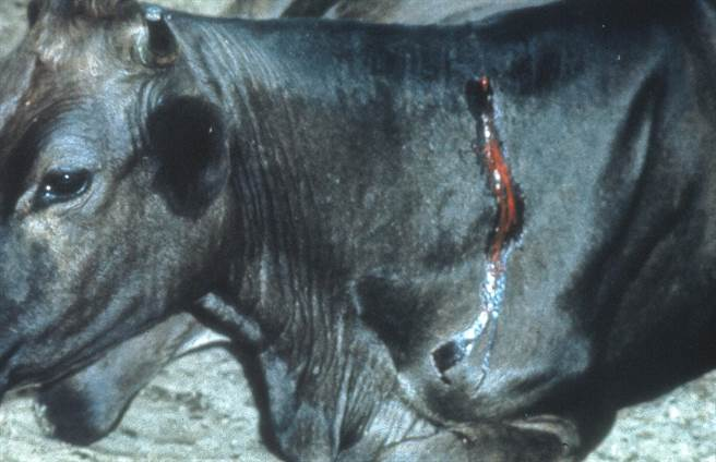 受到吸血蝙蝠吸血的牛隻,很可能因此染上狂犬病。(圖/史密森尼學會)
