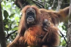 印尼蘇門答臘島發現新品種的紅毛猩猩