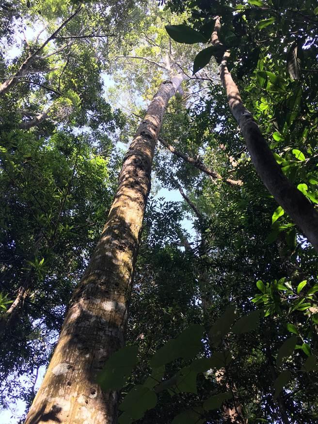 菱形奴草的寄主植物鋸葉長尾栲樹型高大。(沈揮勝攝)