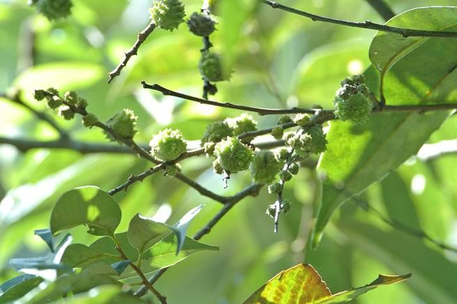 鋸葉長尾栲樹果實。(沈揮勝攝)