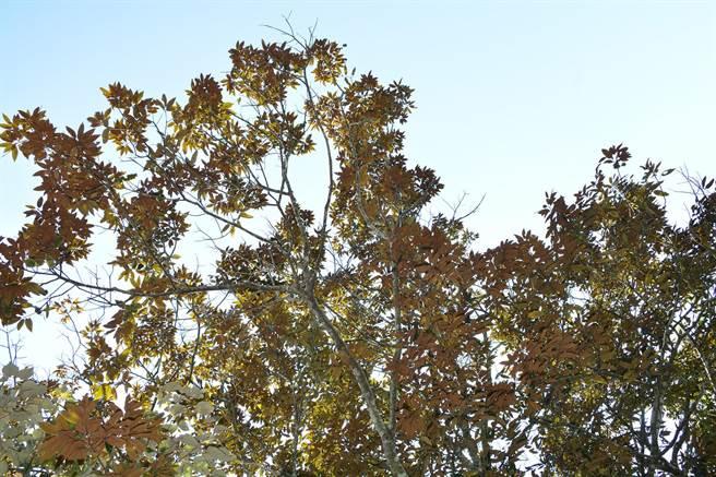 最近蓮華池後山新發現1棵火燒栲,也成了菱形奴草的寄主,為93年首見。(沈揮勝攝)