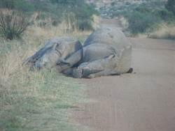 南非犀牛母子遭獵殺兩屍三命照片曝光
