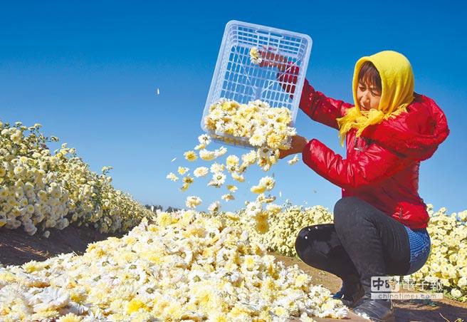 農民在菊花園收集採摘的懷菊。(新華社)