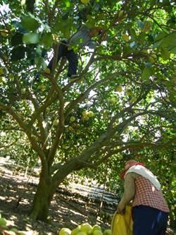 彰化二水白柚開採 「不老採柚組」上陣