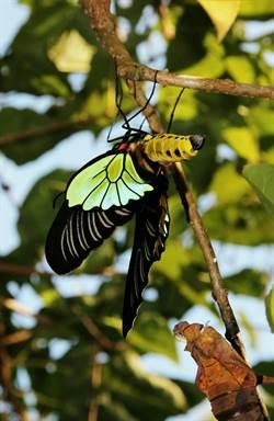 意外收穫!墾丁國家公園發現珠光鳳蝶