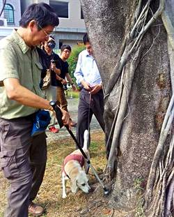 行道樹罹患褐根病 有請米格魯檢疫犬