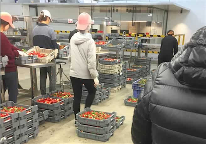 Rick在草莓工廠的工作情形。(Rick提供)