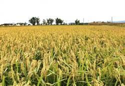 臺中農改場研發抗熱性新米種192號 草屯農會試推廣