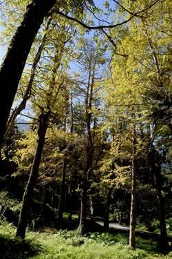 溪頭百年銀杏林葉片轉色 金黃燦爛新亮點