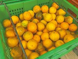 豐原椪柑長不大 榨汁外銷
