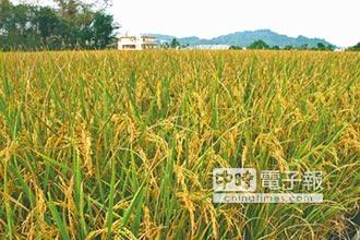 草屯農會籲農民 勿搶割未熟稻