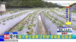 影》雇用大學生常曠職 草莓農反遭檢舉罰2萬