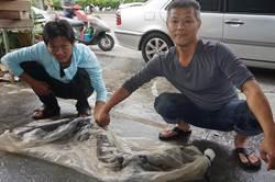 大甲溪捕獲巨無霸鱸鰻 沈文程讚嘆「阿娘喂」