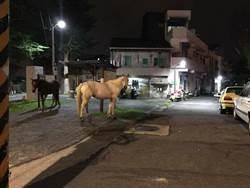 驚見三匹馬逛街吃草 農場主人:青草比乾草好吃