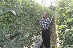 美濃長豆價格飆漲  菜農一夜被偷走近400台斤