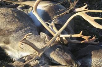 挪威上百馴鹿遭列車輾斃 屍橫遍野數公里