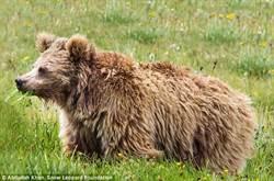 神秘「雪人」真的存在?  研究發現可能是熊