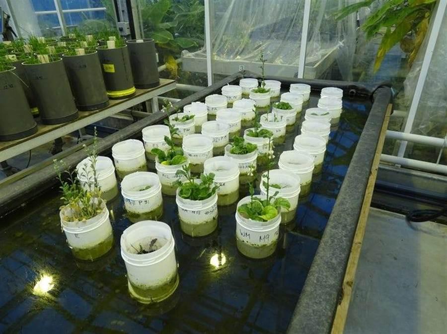 科學家用夏威夷的火山土來模擬火星土壤,利用糞肥和蚯蚓,把原來貧瘠的土質變成可以種植糧食作物。(圖/Wieger Wamelink)