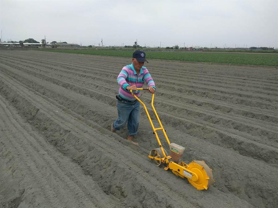 農民播種紅藜。(許素惠攝)