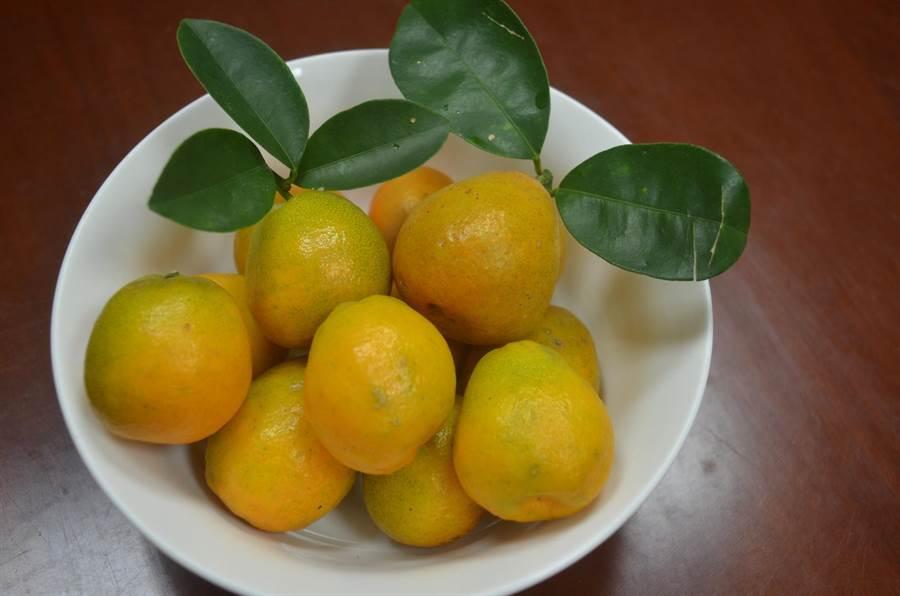 長壽金柑果實碩大、果形似燈泡,也有燈泡金柑的別稱。(農委會提供)