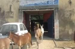 8頭印度驢子因為太貪吃 進了監獄