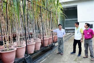 重現農村往日風華 萬丹將辦甘蔗文化祭