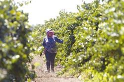 加州酒鄉災後復甦