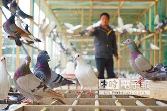 鴿經濟爆發 陸年產值逾千億人幣