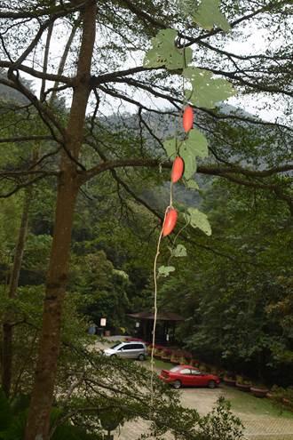 「老王的瓜」掛枝頭 紅紅綠綠美麗嬌豔